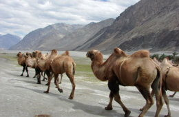 double-humped-bactrian-camels-at-hunder-nubra-ladakh